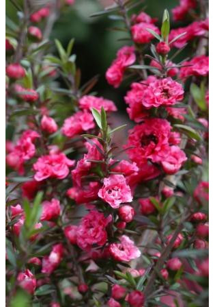 Leptospermum 'Red Damask '