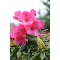 Rhododendron 'Anne Rose Witney'