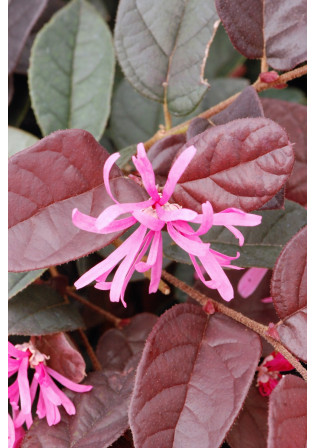 Loropetalum 'Fire Dance'
