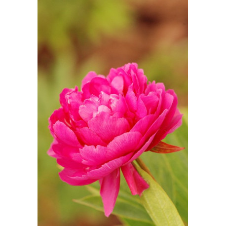 Pivoine 'Riches and Honours'