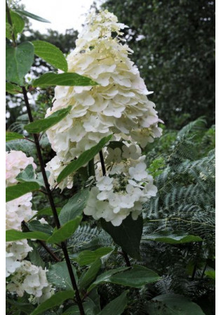 Hortensia 'Phantom'