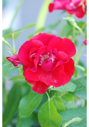 Rosier Kordès® 'Black Forest Rose®'